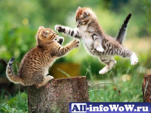 Бои между котами